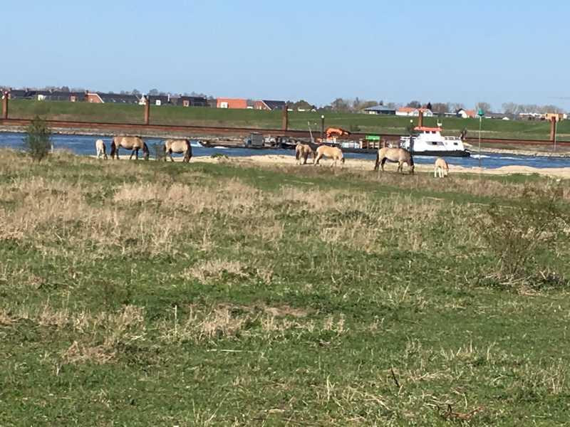 Wandelroute Ooij konikpaarden langs de Waal
